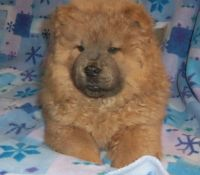 Chow Chow Puppies for sale in Newark, NJ, USA. price: NA