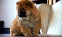Chow Chow Puppies for sale in Kansas City, MO, USA. price: NA