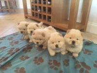 Chow Chow Puppies for sale in Pondfield Rd, Bronxville, NY 10708, USA. price: NA