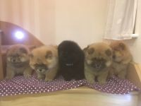 Chow Chow Puppies for sale in Visalia, CA, USA. price: NA