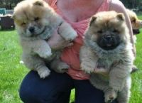 Chow Chow Puppies for sale in Cleveland, OH, USA. price: NA
