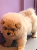 Chow Chow Puppies for sale in California Ave, Palo Alto, CA 94306, USA. price: NA