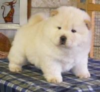 Chow Chow Puppies for sale in New Haven, CT, USA. price: NA