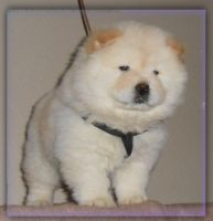 Chow Chow Puppies for sale in Panama City, FL, USA. price: NA