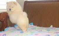 Chow Chow Puppies for sale in Orangeburg, SC, USA. price: NA