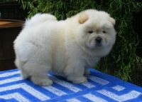 Chow Chow Puppies for sale in Sterling, VA, USA. price: NA