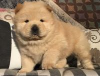 Chow Chow Puppies for sale in Cincinnati, OH, USA. price: NA