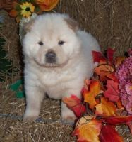 Chow Chow Puppies for sale in Irving Park, Chicago, IL, USA. price: NA