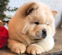 Chow Chow Puppies for sale in Los Angeles, CA 90023, USA. price: NA