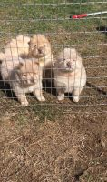 Chow Chow Puppies for sale in Warrendale, PA, USA. price: NA