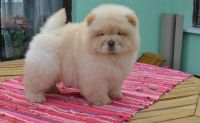 Chow Chow Puppies for sale in Westminster, CO, USA. price: NA