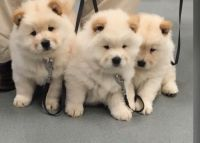 Chow Chow Puppies for sale in Scottsdale, AZ, USA. price: NA