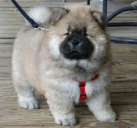 Chow Chow Puppies for sale in Marietta, GA, USA. price: NA