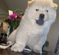 Chow Chow Puppies for sale in Charleston, WV 25356, USA. price: NA