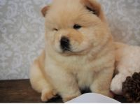 Chow Chow Puppies for sale in Lincoln, NE, USA. price: NA