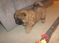 Chow Chow Puppies for sale in Tulsa, OK 74135, USA. price: NA