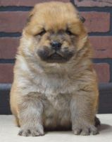 Chow Chow Puppies for sale in Bellevue, WA, USA. price: NA