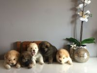 Chow Chow Puppies for sale in Sunday Dr, Louisville, KY 40219, USA. price: NA