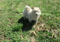 Chow Chow Puppies for sale in Brattleboro, VT 05301, USA. price: NA