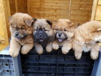 Chow Chow Puppies for sale in Philadelphia, PA, USA. price: NA