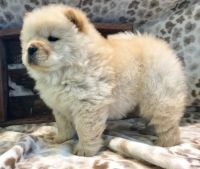 Chow Chow Puppies for sale in Elliottville, KY 40317, USA. price: NA