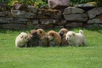 Chow Chow Puppies for sale in San Diego, CA, USA. price: NA