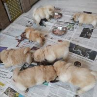 Chow Chow Puppies for sale in Charlotte, NC, USA. price: NA