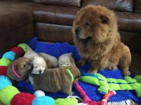 Chow Chow Puppies for sale in San Antonio, TX, USA. price: NA