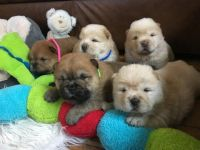 Chow Chow Puppies for sale in Chicago, IL, USA. price: NA