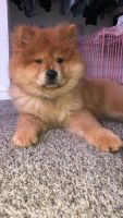Chow Chow Puppies for sale in St. George, UT, USA. price: NA