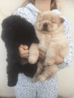 Chow Chow Puppies for sale in NJ-27, Metuchen, NJ, USA. price: NA