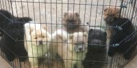 Chow Chow Puppies for sale in Indianapolis, IN, USA. price: NA