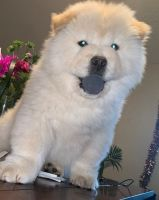 Chow Chow Puppies for sale in Aztec, NM, USA. price: NA