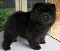 Chow Chow Puppies for sale in Washington, DC, USA. price: NA