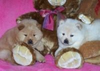 Chow Chow Puppies for sale in New York, NY, USA. price: NA