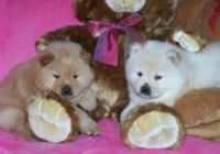 Chow Chow Puppies for sale in Portland, OR, USA. price: NA