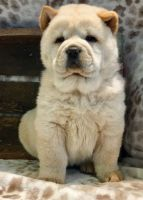 Chow Chow Puppies for sale in Aurora, CO, USA. price: NA