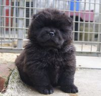 Chow Chow Puppies for sale in Frankfort, KY 40601, USA. price: NA