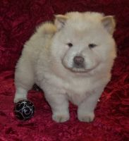 Chow Chow Puppies for sale in Montevallo, AL 35115, USA. price: NA
