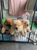 Chow Chow Puppies for sale in Louisville, KY, USA. price: NA