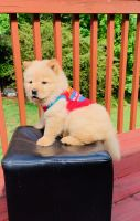 Chow Chow Puppies for sale in McDonough, GA 30252, USA. price: NA