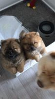 Chow Chow Puppies Photos