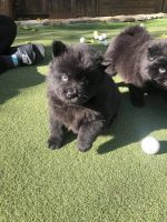 Chow Chow Puppies for sale in San Jose, CA, USA. price: NA