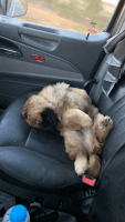 Chow Chow Puppies for sale in Fargo, ND, USA. price: NA