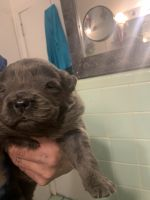 Chow Chow Puppies for sale in Meridian, MS, USA. price: NA