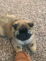 Chow Chow Puppies for sale in Franklin, OH 45005, USA. price: NA