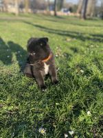 Chow Chow Puppies for sale in Auburn, WA, USA. price: NA
