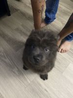 Chow Chow Puppies for sale in Orlando, FL, USA. price: NA