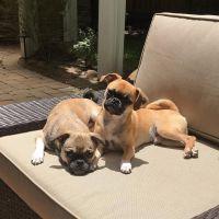 Chug Puppies Photos