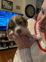 Chug Puppies for sale in Waynesboro, PA 17268, USA. price: NA